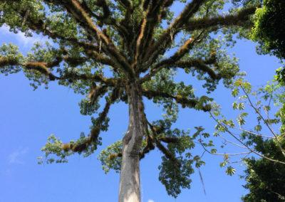 guatemala-heritage-journey-ceiba-tree-tikal