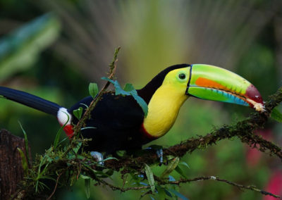 Costa-Rica-Heritage-Journey_CR-Toucan-copy