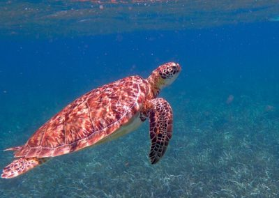 Sea turtle belize