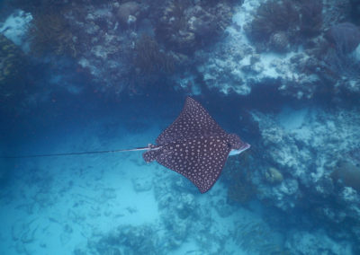 Spotted-eagle-ray-at-Hol-Chan