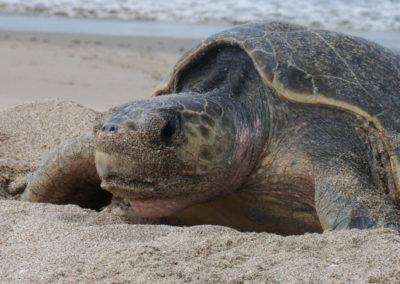 Turtle-Nesting